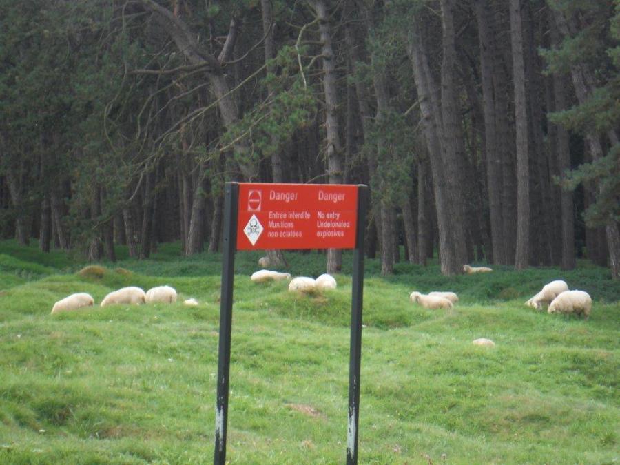 Vimy Grazing Sheep